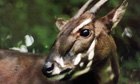 A saola pauses in the jungle in a new nature reserve in Quang Nam , of Vietnam