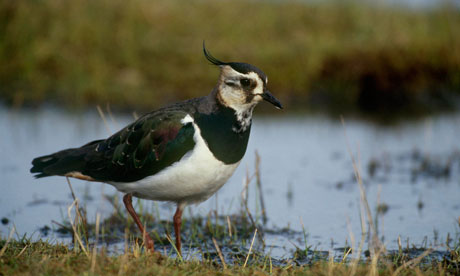 Adult lapwing feeding in wet meadow at Elmley Marsh