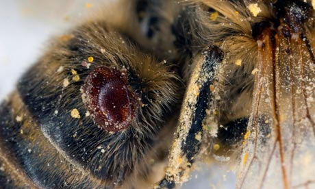 Varroa mite blood-sucking parasite at honey bee