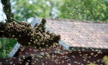 Country Diary : Bee swarm landing on a branch