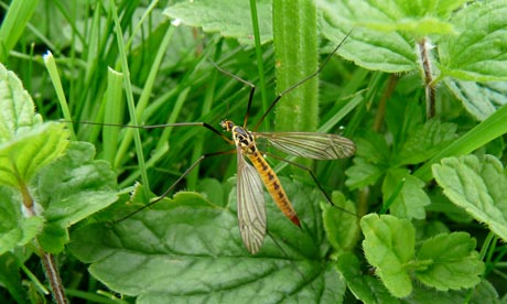 Country Diary : Spotted Cranefly
