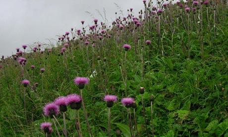 Country Diary : Melancholy Thistle