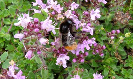 Country Diary :  bumble bee in wild thyme