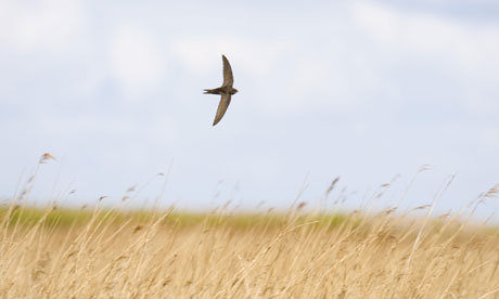 Common Swift (Apus apus) adult, in flight, hunting low over reedbed in wind, Norfolk