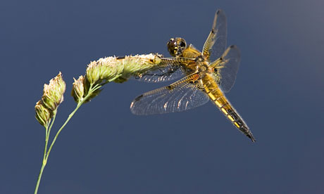 Country Diary : Four-spotted Chaser Dragonfly