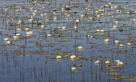 Country Diary : White water-lily