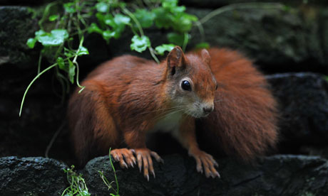 Cornwall Red Squirrel Project at Trewithin Gardens, Project Coordinator Natasha Collings