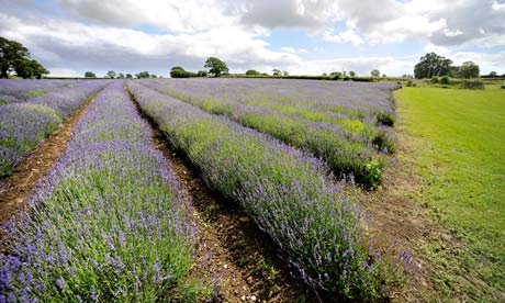 Country Diary : Lavender field at Somerset Lavender Farm, Falkland, Somerset.
