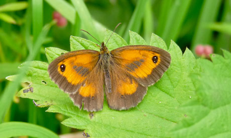 Country Diary : Gatekeeper butterfly
