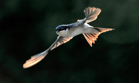 Country Diary : House Martin in flight