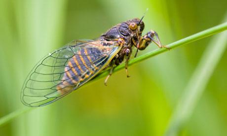 New Forest cicada (Cicadetta montana)