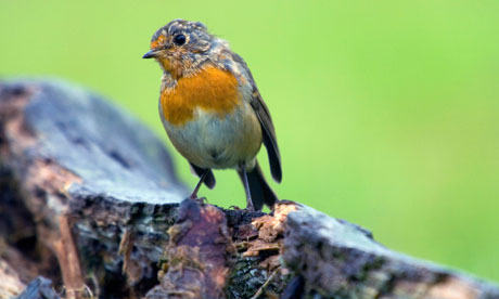 Country Diary : young robin moulting