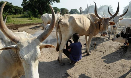 MDG : South Sudan : Dinka tribe man milking Zebu cows