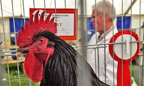 Country Diary : cockerel at Eggleston show in Teesdale
