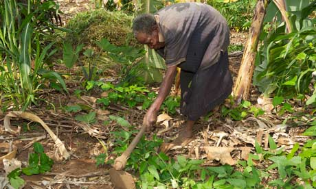 MDG : Tanzania : Old woman working in her banana grove, near Bukoba, Tanzania