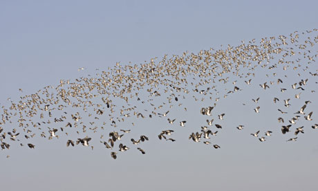 Country Diary : Northern Lapwing and Eurasian Golden Plover flock Norfolk