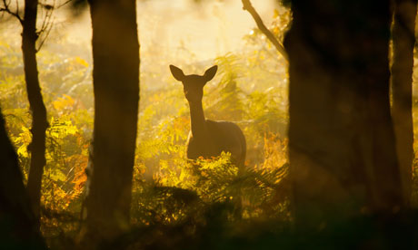 Country Diary : Fallow deer in woodland