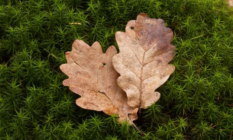 Country Diary : Common Haircap Moss, Common Hair Moss, or Great Goldilocks with oak leaves