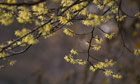 Country Diary :  Witch hazel