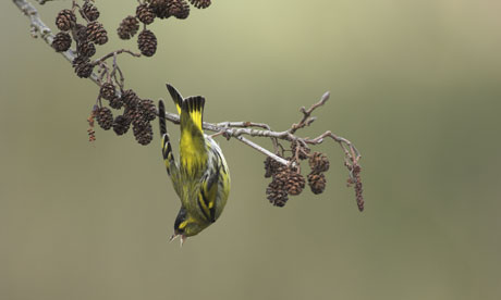 Country Diary Archive : Siskin on Alder branch