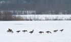 Country Diary : Geese grazing in the snow at Broom.