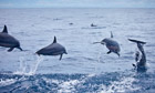 Spinner dolphins jump in the Solomon Islands