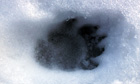 Country Diary : Badger footprint in the snow near Lower Benefield, Northamptonshire