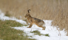 Country Diary : European Hare  on snow at field edge, Suffolk,