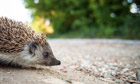 Country Diary : Baby European Hedgehog (Erinaceus europaeus)