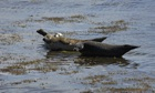 Country Diary : Seals basking , Cromarty Firth, Ross-shire, Scotland.