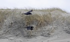 Country Diary : Two Ravens flying over sand dunes in the Outer Hebrides