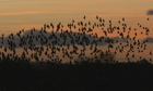 Country Diary Archive : Murmuration Of Starlings Signals Winter's Arrival