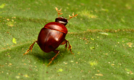 New discovered tiny lilliputian beetle in mountainous region of Southeastern Suriname