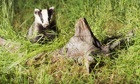 Badger cull has killed fewer than half the number of animals intended