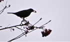 Country Diary : Blackbird eating rowan berries