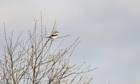 Country Diary : Great Grey Shrike