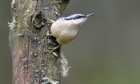 Country Diary : Nuthatch (sitta europaea)