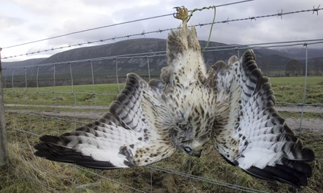 Eurasian buzzard (Buteo buteo), strung up on farm fence in Scotland