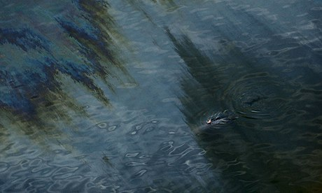 A dolphin is seen swimming through an oil sheen from the Deepwater Horizon oil spill