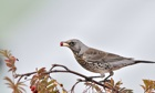 Country Diary : A fieldfare in a Rowan tree.