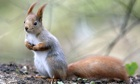 Country Diary : Red Squirrel