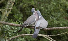 Country Diary : Wood Pigeon pair bonding