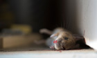 Country Diary Archive : A common house mouse lying dead in a traditional wooden mouse trap.