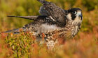 Country Diary : Peregrine Falcon