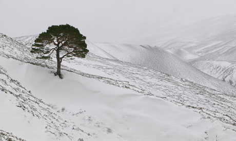 Country Diary : A lone Scots Pine in the Cairngorm mountains, Scotland, UK