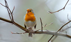 Country Diary : Robin, Erithacus rubecula, singing on a branch,  Cornwall