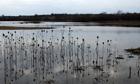 Country Diary : Teasel along lake edge, Stanwick Lakes, Northamptonshire,