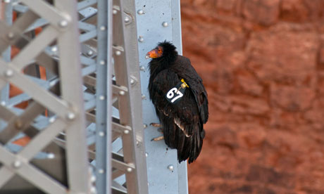 Female California Condor died of lead poisoning
