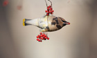 Country Diary : Adult Cedar Waxwing feeding on Hawthorn berries