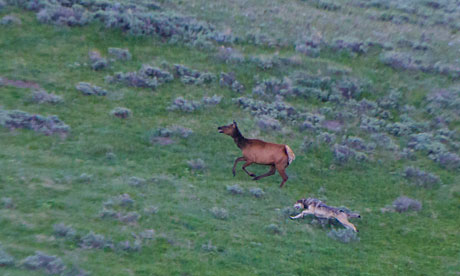 A gray wolf on the hunt running alongside an elk in Yellowstone National Park, Wyoming
